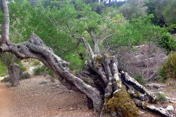 Recorregut-Trail-Walk-Tramuntana-Mallorca-8
